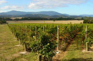 S-E Australia vineyard