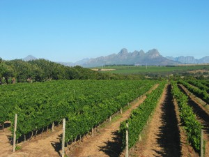 SA vineyards