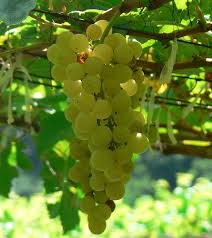 S-Africa grapes