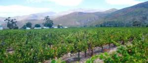 SA vinyard