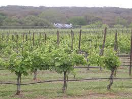 texas vineyards