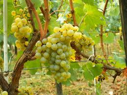 chardonnay popularity