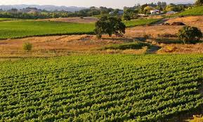 Sonoma Chardonnay vineyard
